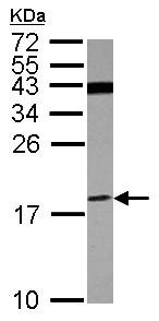 Western blot - Anti-ATP6V1F antibody (ab155927)