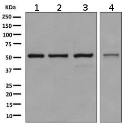 Western blot - Anti-SRP54 antibody [EPR10850] (ab155964)
