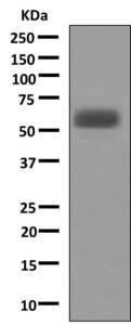 Western blot - Anti-A1BG antibody (ab156009)