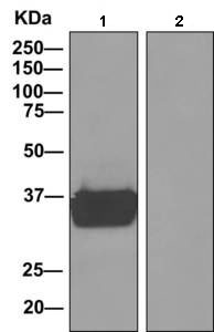 Immunoprecipitation - Anti-MAS1L antibody [EPR11440(B)] (ab156018)