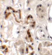 Immunohistochemistry (Formalin/PFA-fixed paraffin-embedded sections) - Anti-DBX1 antibody (ab156283)
