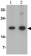 Western blot - Anti-CD252 antibody (ab156285)