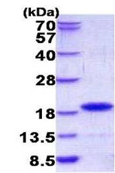 SDS-PAGE - GIP protein (His tag) (ab156354)