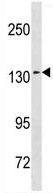 Western blot - Anti-Sec31A antibody (ab156411)