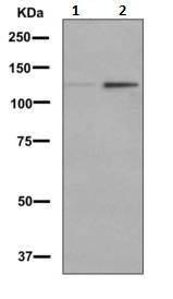 Western blot - Anti-SIRT1 antibody [EPNCIR153] (ab156585)