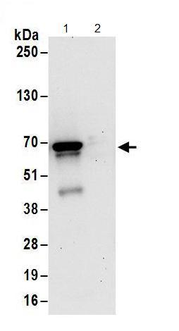 Immunoprecipitation - Anti-Poly(A) RNA polymerase, mitochondrial  antibody (ab156684)