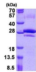 SDS-PAGE - CEACAM7 protein (ab156717)