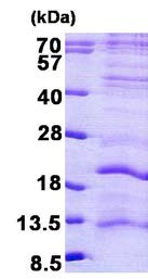 SDS-PAGE - LAGE3 protein (His tag) (ab156727)