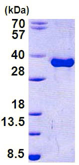 SDS-PAGE - Torsin A protein (His tag) (ab156747)