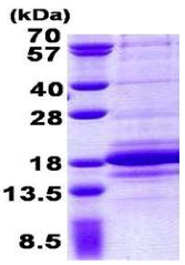 SDS-PAGE - C1D protein (His tag) (ab156979)