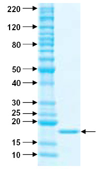 SDS-PAGE - TRAIL protein (Active) (ab157018)