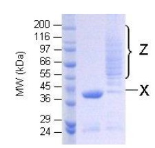 SDS-PAGE - Ubiquitin K48 only protein (Active) (ab157048)