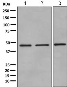 Western blot - Anti-ADRM1 antibody [EPR11449(B)] (ab157185)