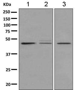 Western blot - Anti-GPCR GPR1 antibody [EPR11008] (ab157209)