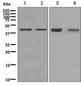 Western blot - Anti-ADRM1 antibody [EPR11450(B] (ab157218)
