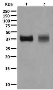 Western blot - Anti-Follistatin antibody [EPR10903] (ab157471)