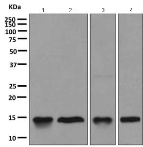 Western blot - Anti-Galectin 10 antibody [EPR11197] (ab157475)