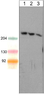 Western blot - Anti-SHANK1 antibody [M369] - C-terminal (ab157766)