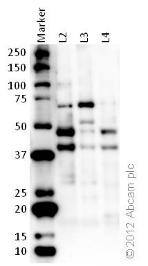 Western blot - Anti-HDAC3 antibody (ab16047)
