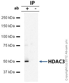 Immunoprecipitation - Anti-HDAC3 antibody (ab16047)