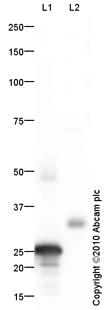 Western blot - Noggin antibody (ab16054)