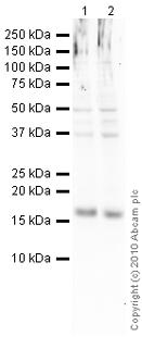 Western blot - Anti-CDKN2A/p16INK4a  [DCS50.1] antibody (ab16123)