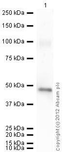 Western blot - Anti-Neuroserpin antibody (ab16171)