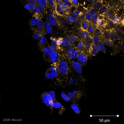 Immunocytochemistry/ Immunofluorescence - TRA-1-81 antibody [TRA-1-81] - Embryonic Stem Cell Marker (ab16289)