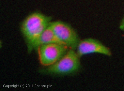 Immunocytochemistry/ Immunofluorescence - Anti-NF-kB p65 antibody (ab16502)