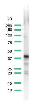 Western blot - Synaptophysin antibody [SP11] (ab16659)