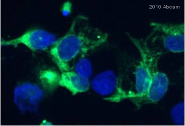 Immunocytochemistry/ Immunofluorescence - Catalase antibody (ab16731)