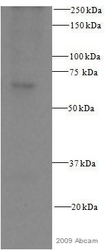 Western blot - Src antibody [Clone 327] (ab16885)