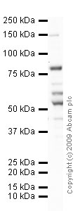 Western blot - TLR2 antibody [T2.5] - Azide free (ab16894)