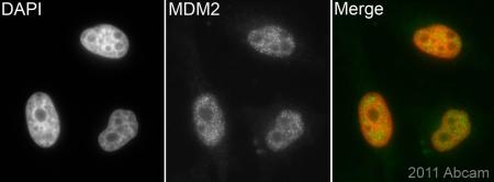 Immunocytochemistry/ Immunofluorescence - MDM2 antibody [2A10] (ab16895)
