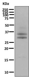 Western blot - Anti-p107 antibody [EPR7927 ] (ab166611)