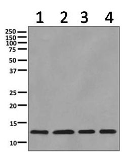 Western blot - Anti-ERH antibody [EPR10830(B)] (ab166620)