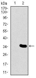 Western blot - Anti-Mesp2 antibody [1B3F9] (ab166702)
