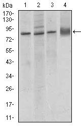 Western blot - Anti-VE Cadherin antibody [3D5C7] (ab166715)
