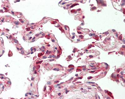 Immunohistochemistry (Formalin/PFA-fixed paraffin-embedded sections) - Anti-TSC22D1 antibody - N-terminal (ab166790)