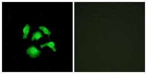 Immunocytochemistry/ Immunofluorescence - Anti-TSC22D1 antibody - N-terminal (ab166790)