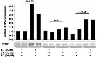 Western blot - Anti-PFKP antibody - C-terminal (ab167083)