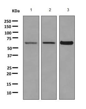 Western blot - Anti-SLC5A10 antibody [EPR9573] - Extracellular domain (ab167156)