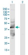 Western blot - Anti-kynurenine 3-monooxygenase antibody (ab167274)