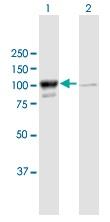 Western blot - Anti-MARS antibody (ab167360)