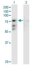 Western blot - Anti-CENPB antibody (ab167361)