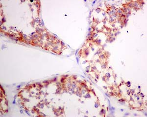 Immunohistochemistry (Formalin/PFA-fixed paraffin-embedded sections) - Anti-PSMG1 antibody [EPR10223] (ab167396)