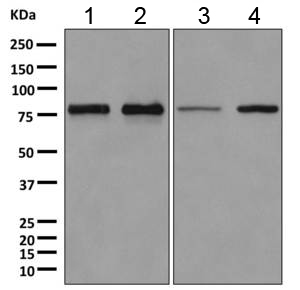 Western blot - Anti-DYNC1I2 antibody [EPR11242] (ab167399)