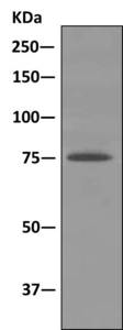 Immunoprecipitation - Anti-DYNC1I2 antibody [EPR11242] (ab167399)