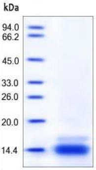 SDS-PAGE - CCL6 protein (Active) (ab167708)