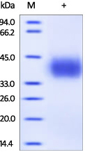 SDS-PAGE - Active human PD-L1 full length protein (ab167713)